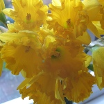 Happy St David's Day vase of daffodils